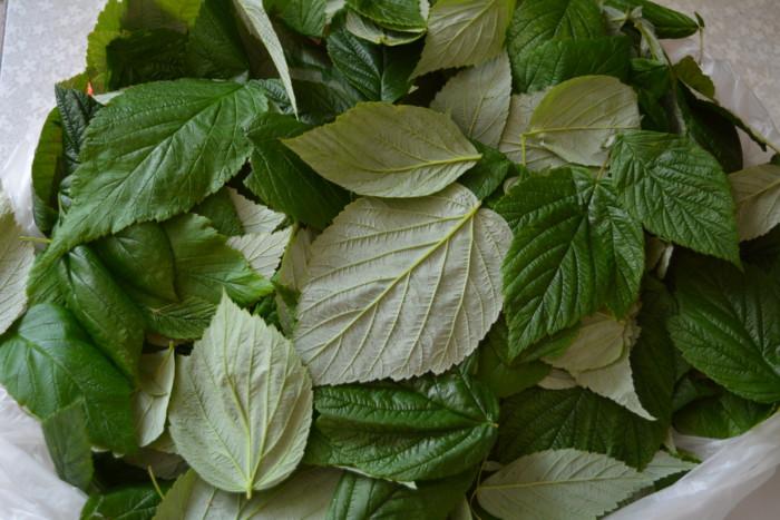 Малиновый лист — выбор и правильная сушка