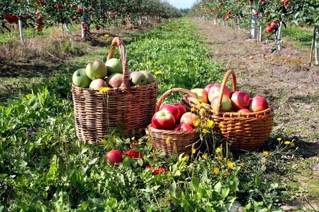 Сбор яблок — подходящие сорта для компота